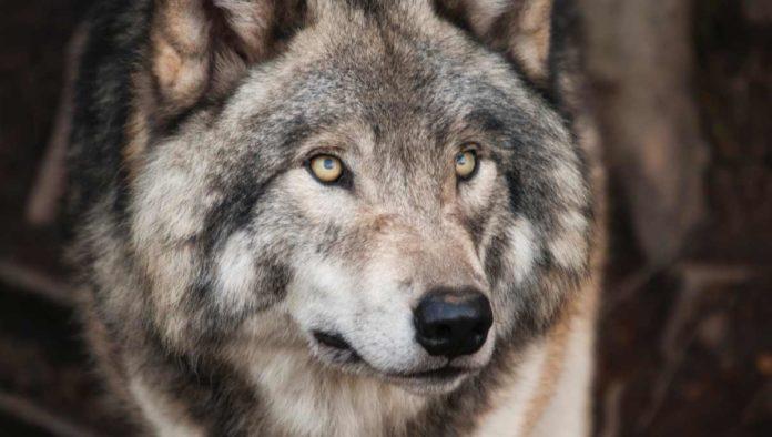 Lobo mexicano -  El rey de los bosques y montañas