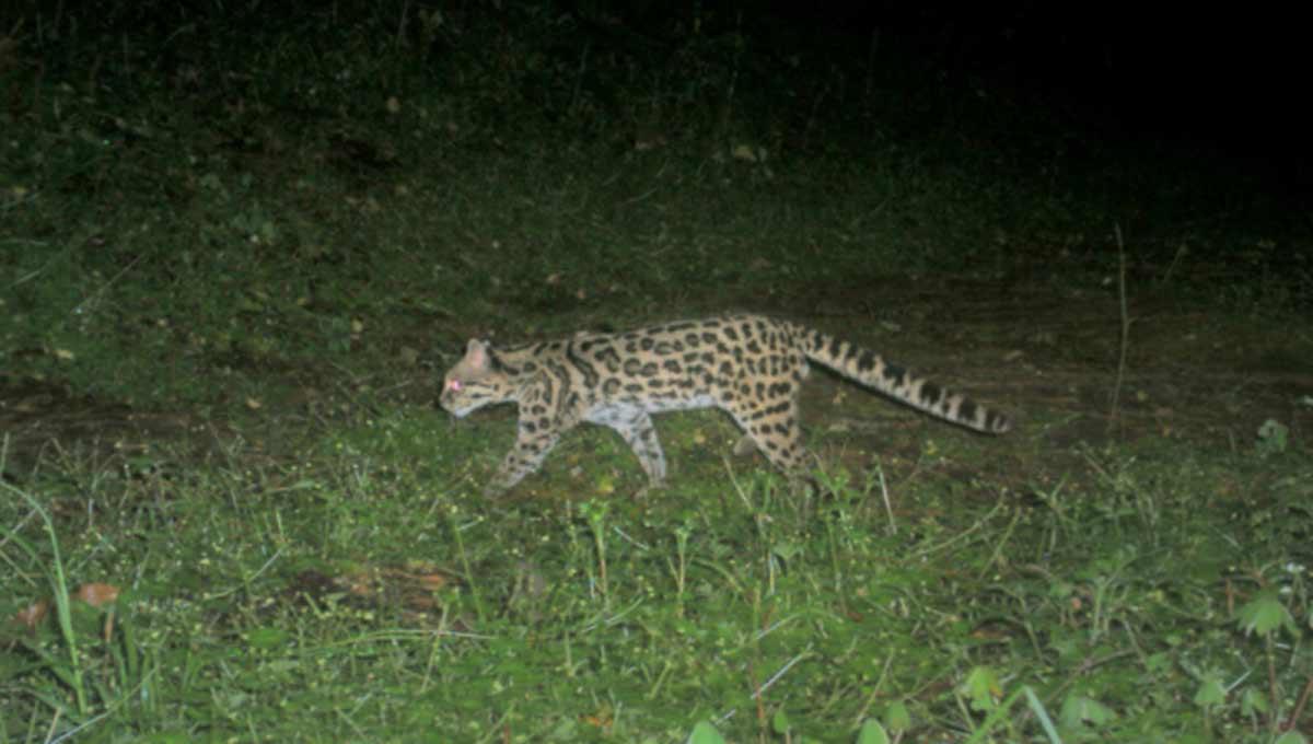 Grandes felinos en México
