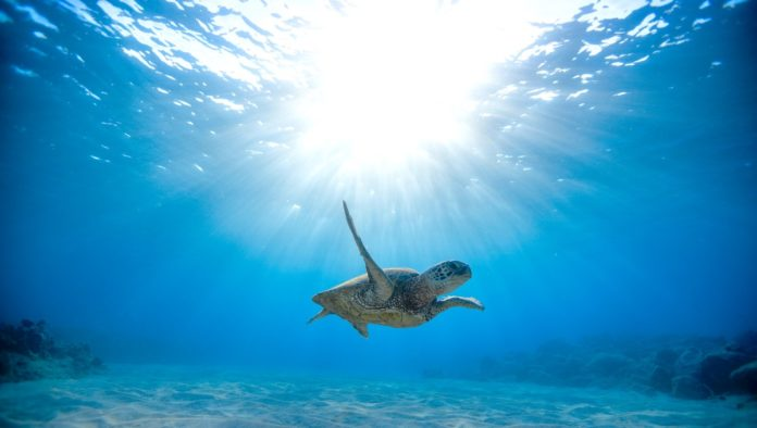 Riviera Nayarit, un santuario para la tortuga marina