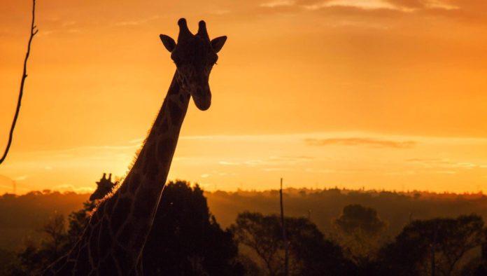 Retorno salvaje en Puebla: Africam Safari reabrió sus puertas luego de 6 meses