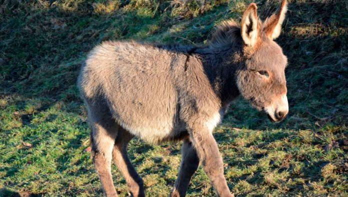 Datos que no sabías del burro