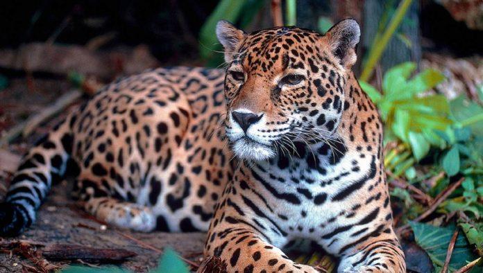 10 cosas del jaguar