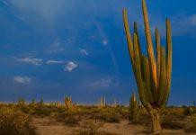 cactus gigantes