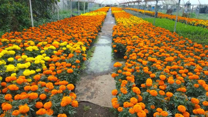 Paraíso del cempasúchil: feria Flores del Mictlán en Xochimilco