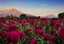 Flor de terciopelo México