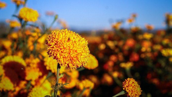 CDMX amanece con avenidas llenas de flores de cempasúchil