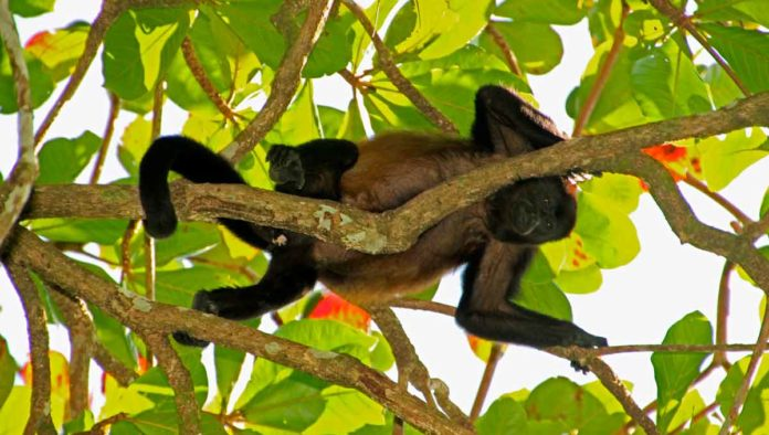 mono saraguato, mono aullador