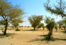 Árboles del Sahara