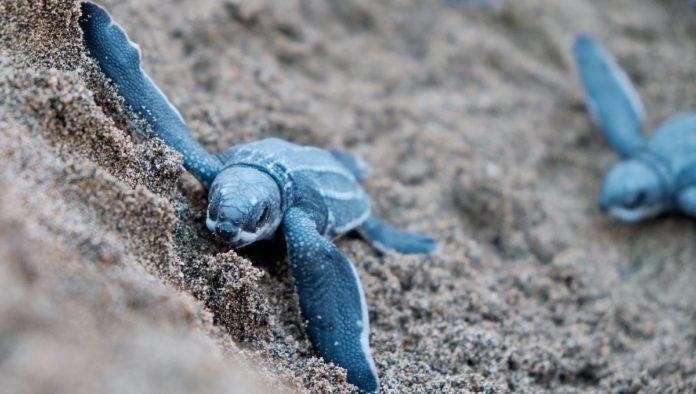 Tortuga golfina: récord de eclosiones en Sonora