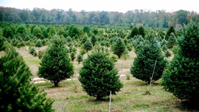 Adiós al mito sobre los árboles de Navidad naturales
