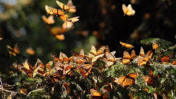 Arranca la temporada de la Mariposa Monarca en Michoacán