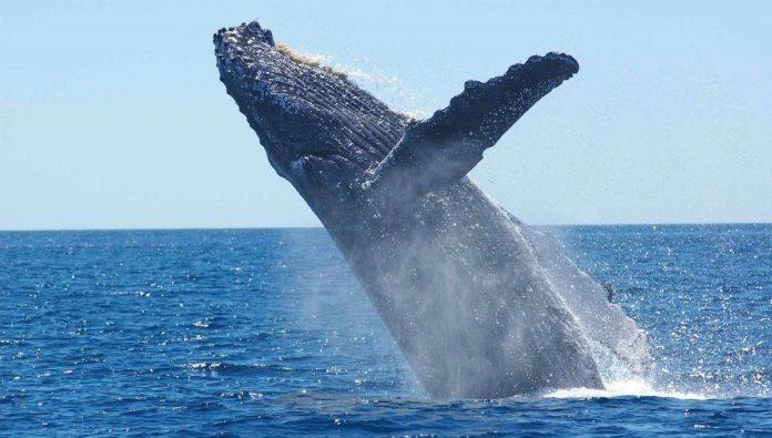 7 cosas que quizá no sabías de la ballena azul