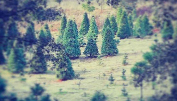 Vive la magia decembrina en el Bosque de los Árboles de Navidad