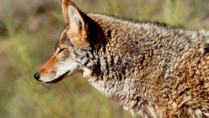 5 cosas que no sabías del coyote