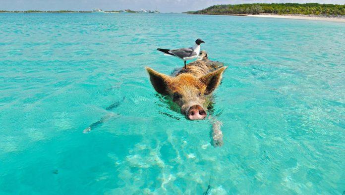 Pig Beach: ¿qué tal un chapuzón con cerditos?