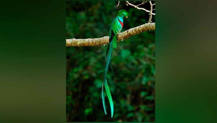 Datos que no conocías del quetzal