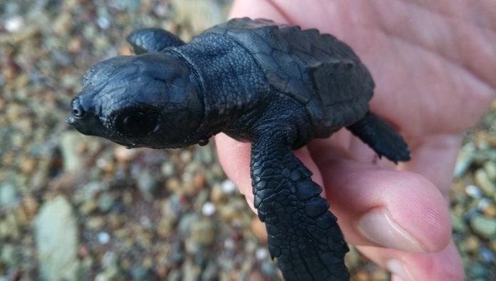 Colola: comunidad nahua protectora de la tortuga negra
