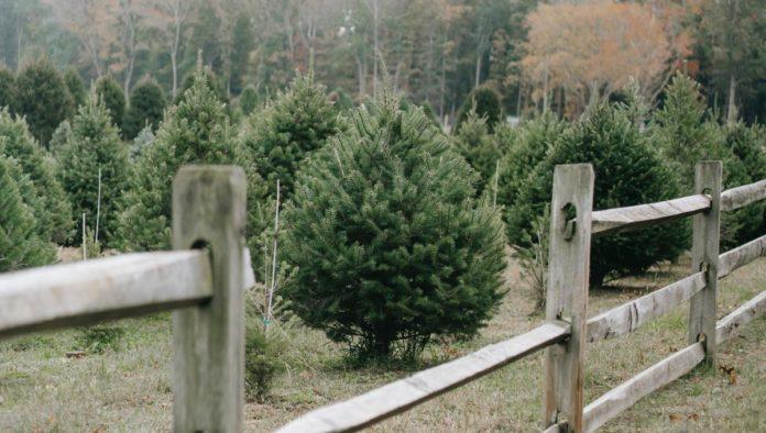 Corta tu árbol de Navidad y disfruta del bosque libremente