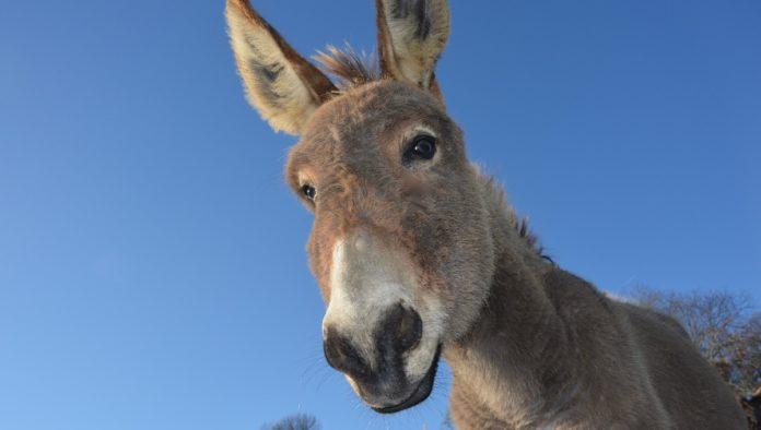Denuncian a hotel de Tulum por maltrato animal hacia un burro