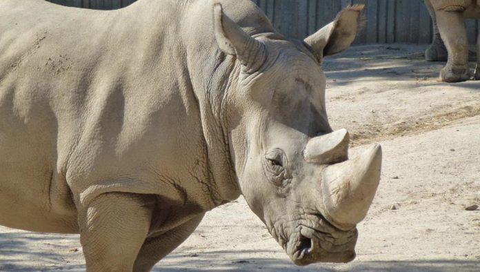Rinoceronte blanco del norte es declarado funcionalmente extinto