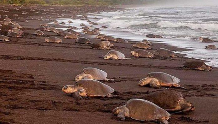 5 datos que no sabías de la tortuga lora