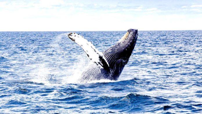 Arranca la temporada de la ballena jorobada en Riviera Nayarit