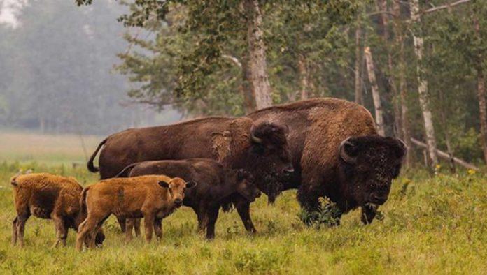 5 cosas que no sabías del bisonte
