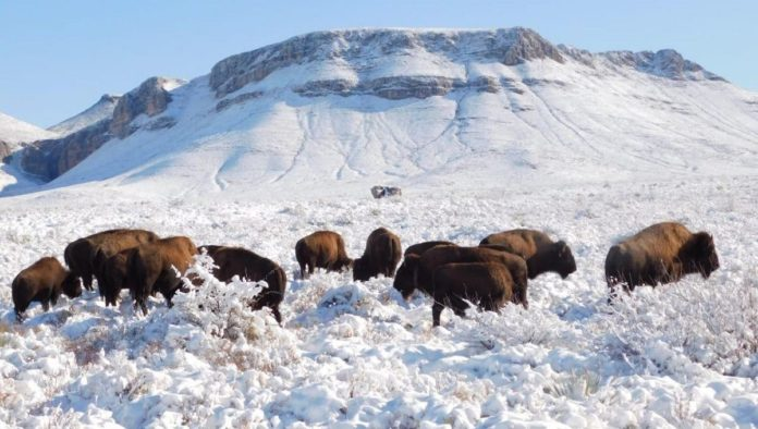 Bisontes, después de 100 años pastan de nuevo en Coahuila
