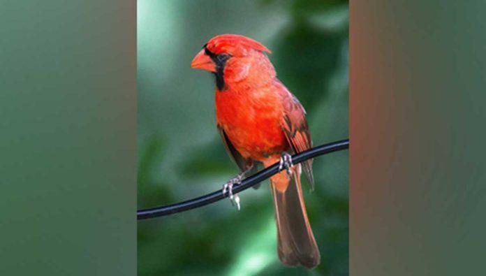 5 cosas que no sabías de esa espectacular ave llamada cardenal