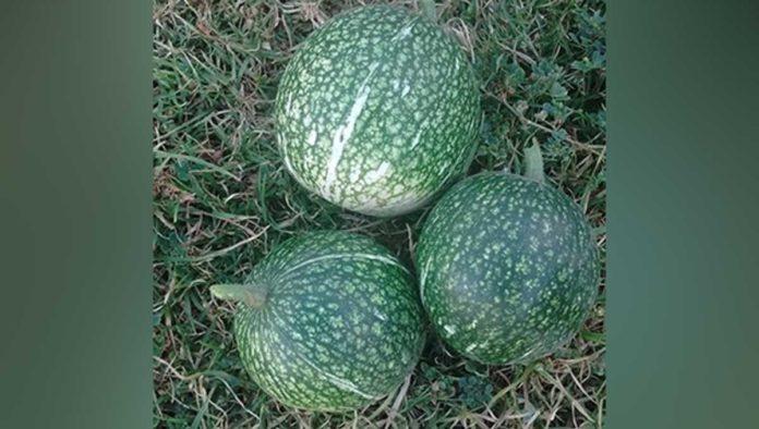 Chilacayote: 5 razones para endulzarte la vida con esta planta