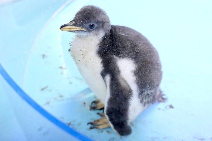 El primer pingüino nacido en la CDMX ya tiene nombre