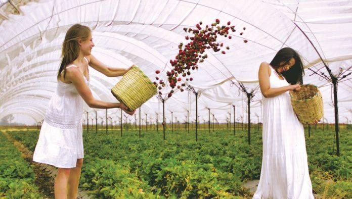 Las fresas tienen su circuito en Irapuato