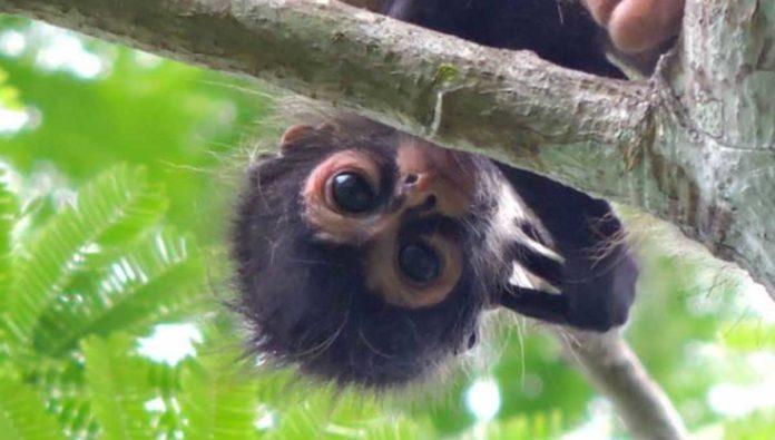 5 cosas que no sabías del mono araña