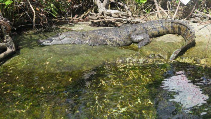 Panchito, el cocodrilo que se viralizó por nadar entre humanos en cenote de Tulum