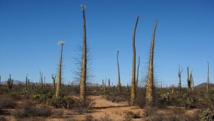 Valle de los Cirios, un escenario seductor en la península de Baja California
