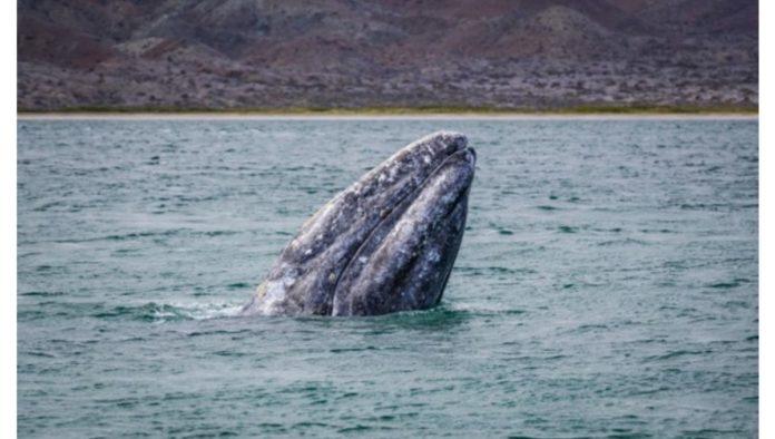Avistamiento de la ballena gris, orgullo de La Paz