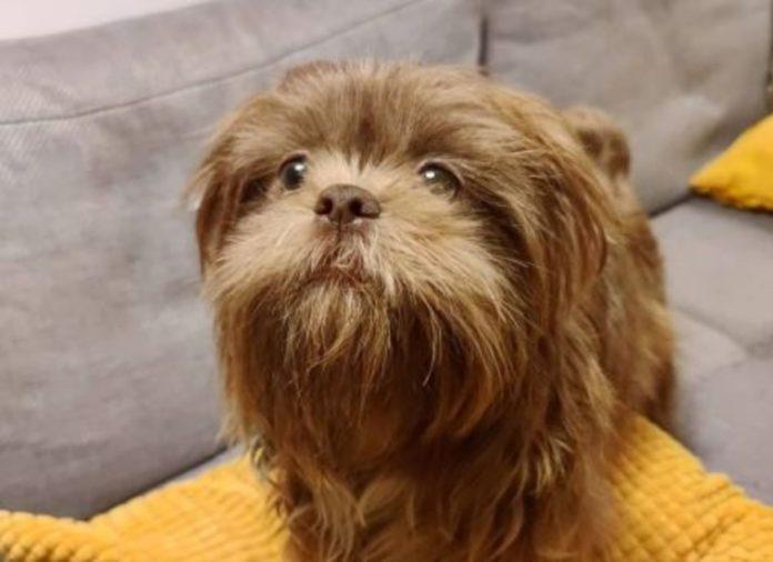 Conoce a Chewy, el perrito turista que perdió su pasaporte en Tepoztlán