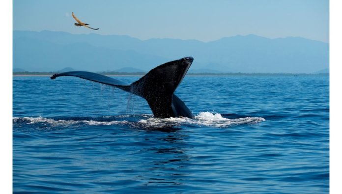 Ixtapa Zihuatanejo declara 2021 como el año de las ballenas