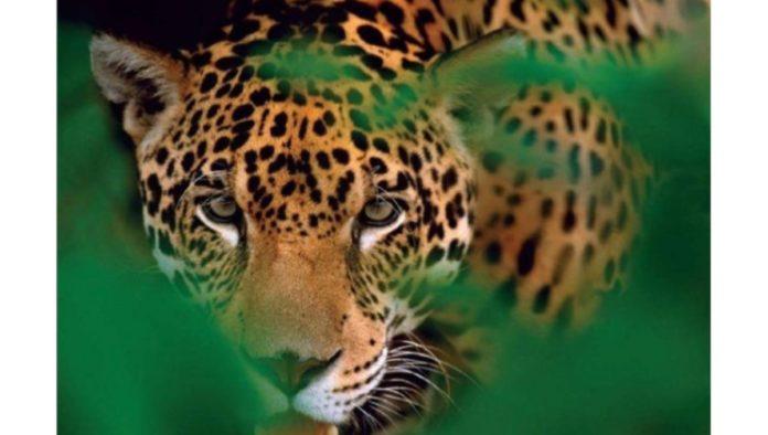 El jaguar y cinco datos que debes conocer