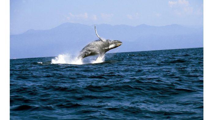 Las ballenas jorobadas se verán hasta marzo en Bahía de Banderas