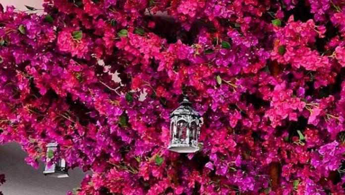 Bugambilia: el rosa mexicano natural te comparte 5 de sus beneficios