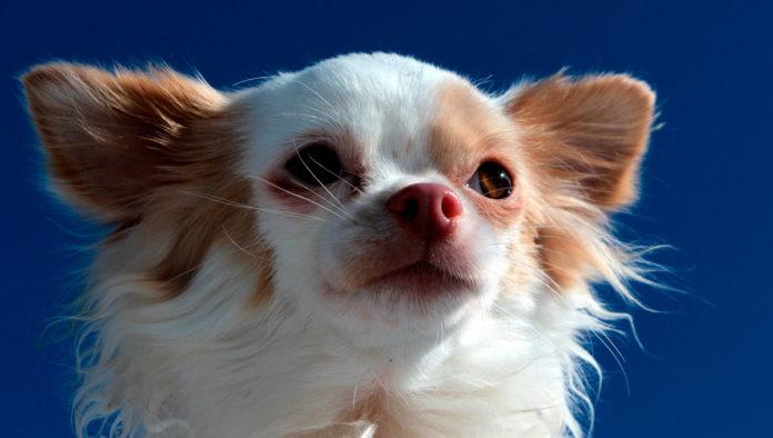 7 curiosidades que no sabías de los perros Chihuahua