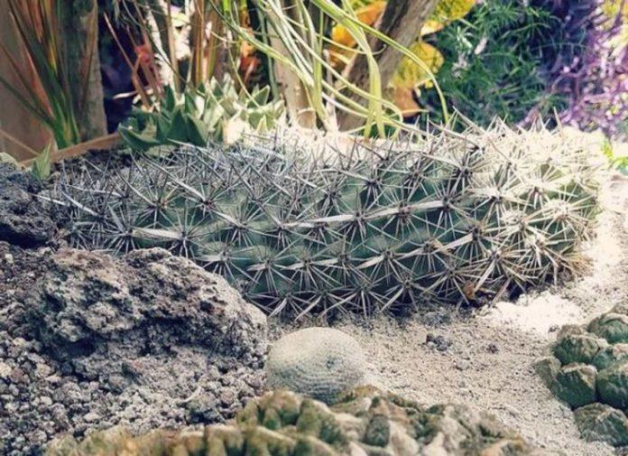Chirinola mexicana: la impresionante cactácea que camina