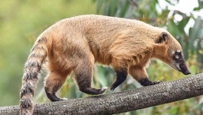 6 curiosidades que no sabías del coatí