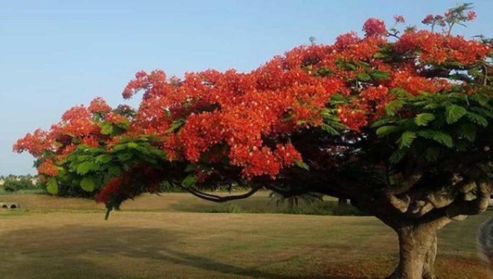 Curiosidades del flamboyán, un hermoso árbol colorido que se quedó en México