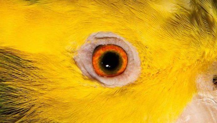 4 datos que no sabías del loro cabeza amarilla