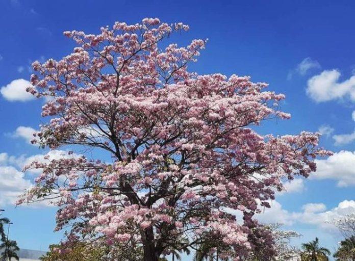 Maculís, el árbol que llena de color al sureste mexicano