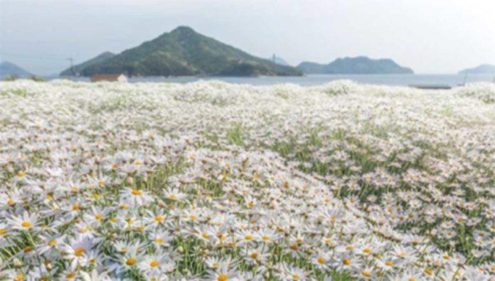 Navega el mar de margaritas en el Parque de Flores Urashima