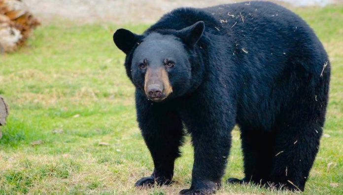 5 curiosidades del oso negro americano