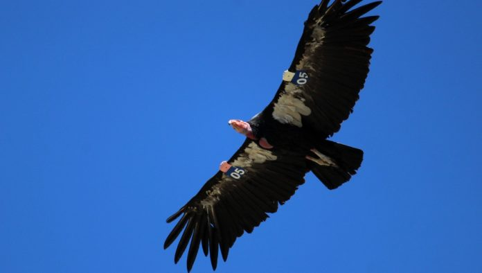 Parque Nacional Sierra de San Pedro Mártir, hogar del cóndor de California